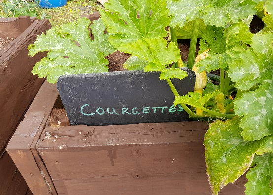 Slate sign for courgettes with courgette plant