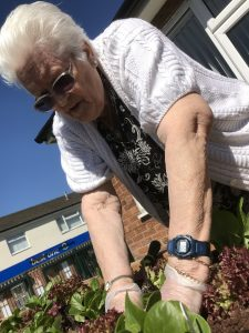 Older woman planting up salad leaves in a raised bed on a sunny day