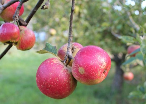 Three rosy red apples on a tree in an orchard