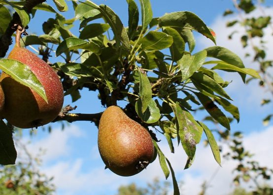 Pears growing on a tree