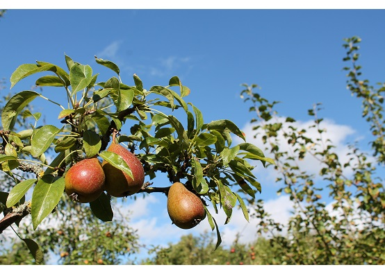 Three pears growing on a tree in an orchard on a sunny day
