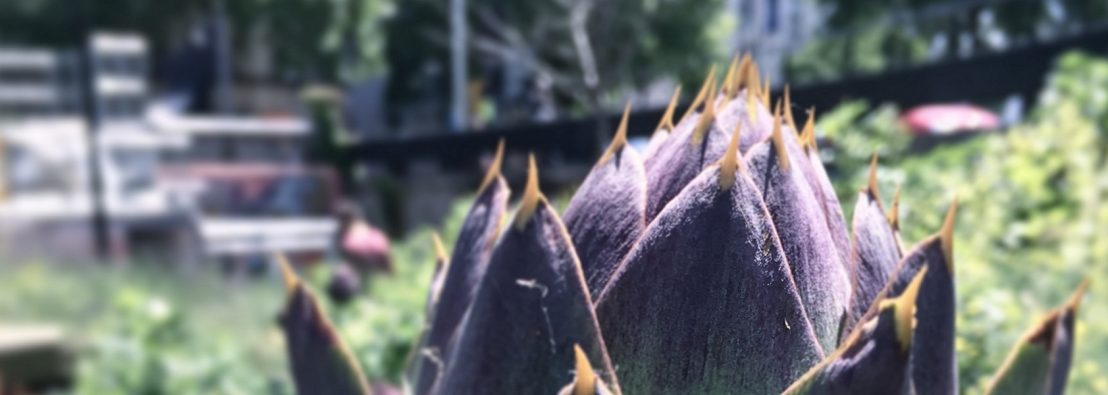 Close up of the head of a purple globe artichoke with a city street in the background
