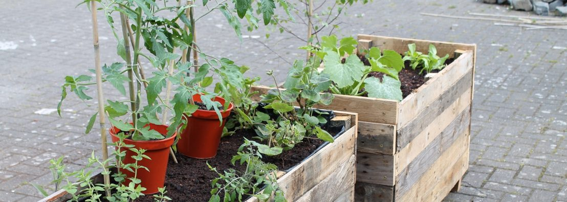 Planters made from old pallets with herbs and tomato plants in pots ready to go in
