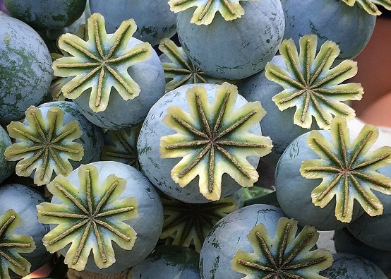 Close up of poppy seed pods