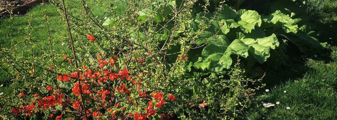 Perennial plants (Japanese Quince & Rhubarb) growing in a grassed area