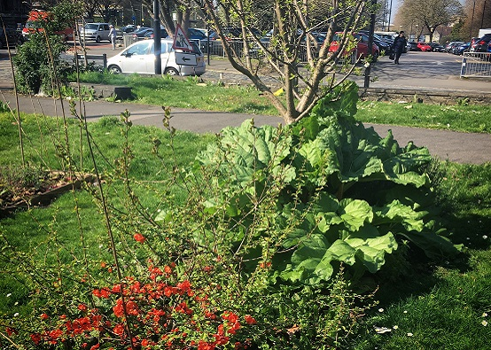 Perennial plants (Japanese Quince, rhubarb & greengage) growing in a grassed area